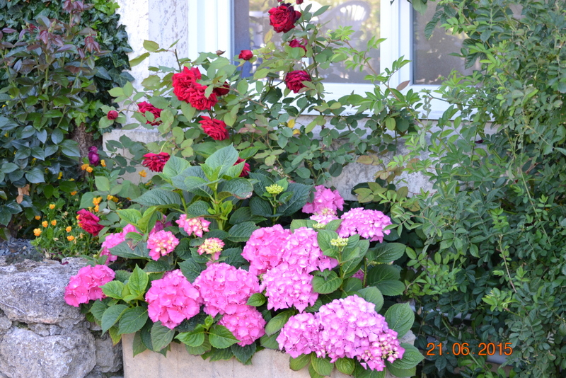 Massif roses et hortensias entrée 1